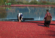 Cranberry growers are facing economic woes despite high yields
